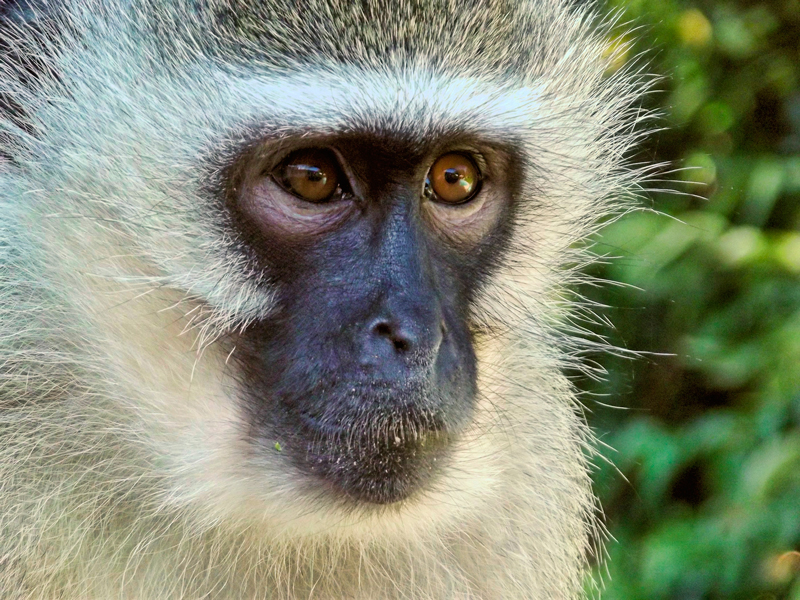 Qlick steunt Tunda, een Thais gibbon-aapje